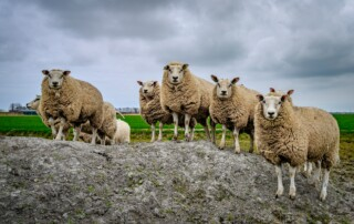 Schafherde-formiert-frei_Flock-of-sheep-strong-and-free_Troupeaux-de-moutons-formés-et-libres